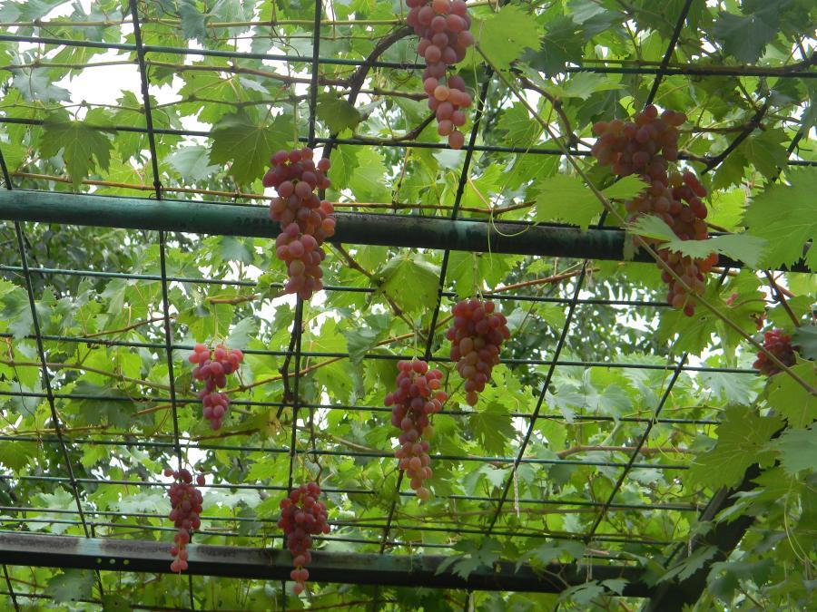 Беседка для винограда