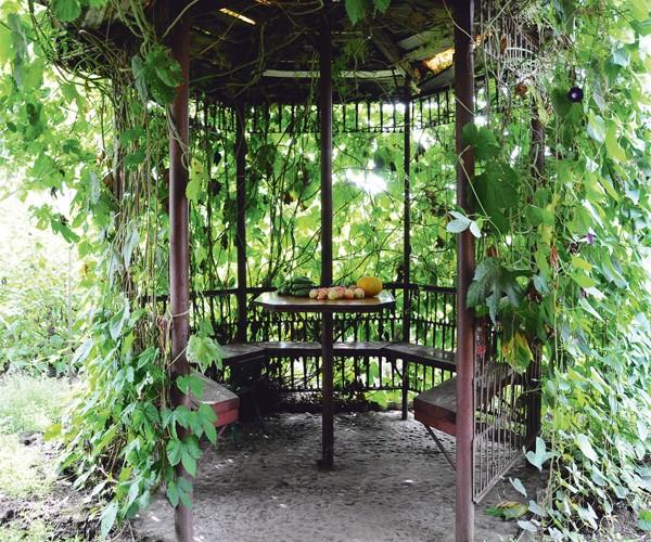 Металлическая беседка, обсаженная виноградом