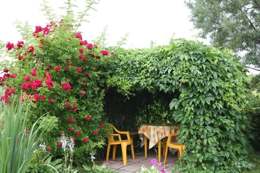 Беседка из растений: девичий виноград
