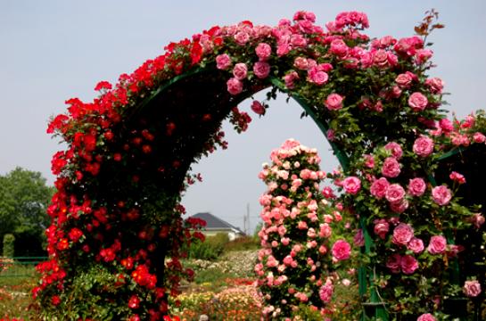 Арочная беседка из цветов клематиса