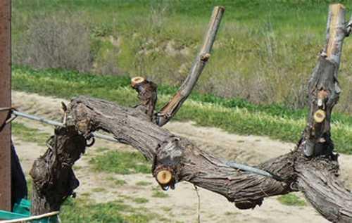 Короткая обрезка винограда