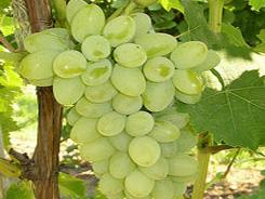 Обыкновенный виноград для беседки