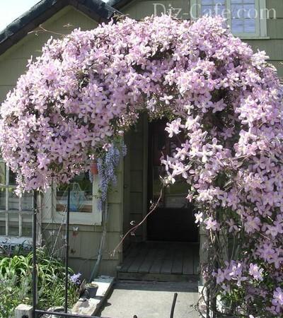Оформление входа в дом цветами клематиса