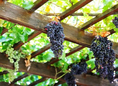 Размещение гроздей винограда на беседке