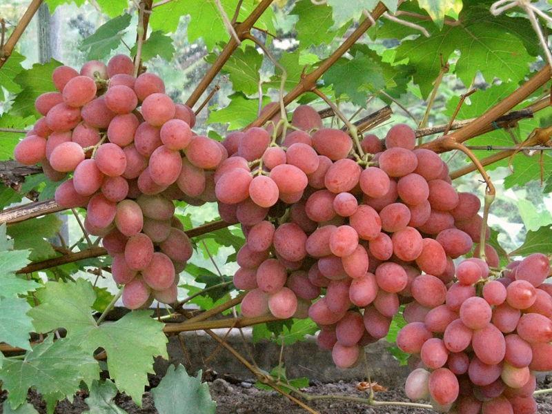 Рубиновый виноград на беседке