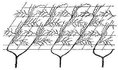 Схема формирования на беседке лозы винограда