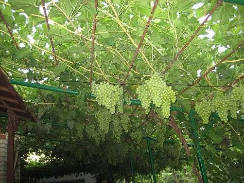 Виноградник на беседке