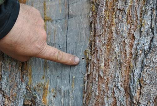 Довольно часто дерево повреждают жуки-короеды.
