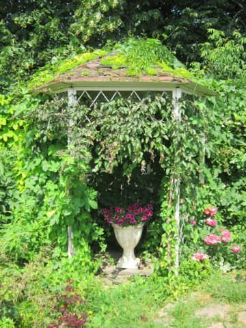 Конструкция, оплетенная плющом и девичьим виноградом