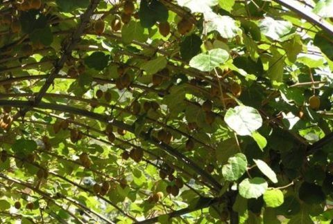 Урожай на актинидии